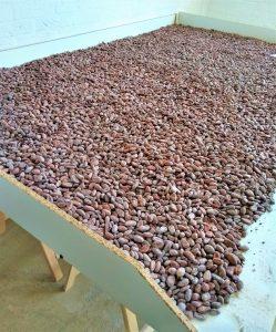 gebrande cacaobonen koelen af